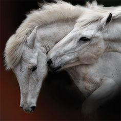 This ancient breed is indigenous to the Camargue area of Provence. For centuries, possibly thousands of years, they have run wild and free in the marshy wetland regions of the Rhône Delta ... France
