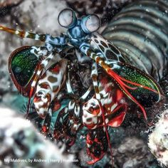 Peacock Mantis Shrimp- one of the most awesome creatures ever!
