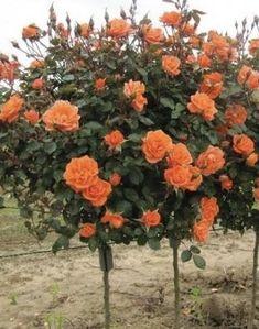Roses ☺️