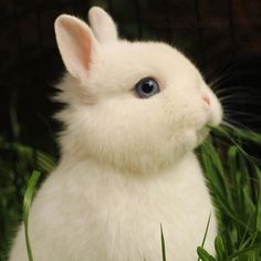 beautiful white bunny with blue eyes