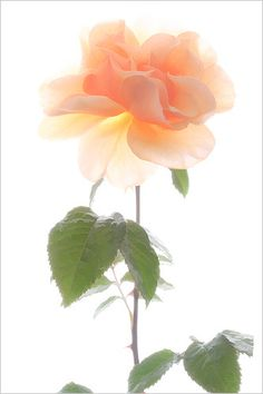 Roses / nature /- IMG_7656 by Bahman Farzad, via Flickr