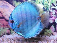 Blue Cobalt Discus