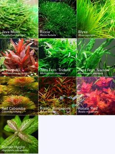 Cryptocoryne Wendtii Green Pot Easy Freshwater Crypt Live Aquarium Plant Anubias Superior Materials Fish & Aquariums