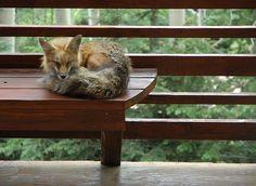 A foxy nap.