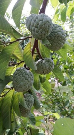 A branch of sugar apples/custard apples (Annona Squamosa)
