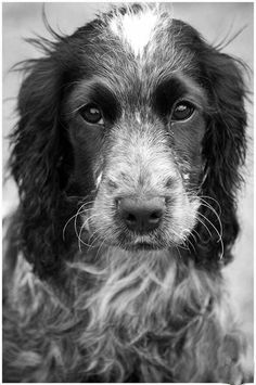Seren - my beautiful Blue Roan Cocker Spaniel puppy! Blue Roan Cocker Spaniel, Cocker Spaniel Puppies, Springer Spaniel, Cute Puppies, Cute Dogs, Corgi Puppies, Animals And Pets, Cute Animals, Cockerspaniel