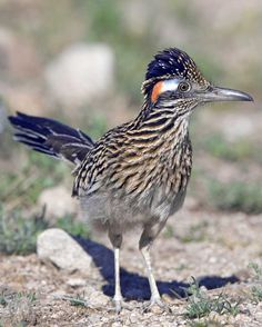 The Greater Roadrunner is a large cuckoo that can outrace a human, kill a rattlesnake, and thrive in the harsh landscapes of the Desert Southwest. As they run, they hold their lean frames nearly parallel to the ground and rudder with their long tails.  | text from allaboutbirds.org
