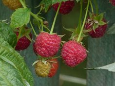 SPECIAL DEAL - Usually each, today just for THREE - Save Raspberry Groovy is a fantastic new concept for growing Raspberries (Rubus idaeus) on the patio or in the garden when you have limited space. Fruit And Veg, Fruits And Veggies, Growing Raspberries, Raspberry, Strawberry, Garden Works, Golden Leaves, Edible Plants, Summer Fruit