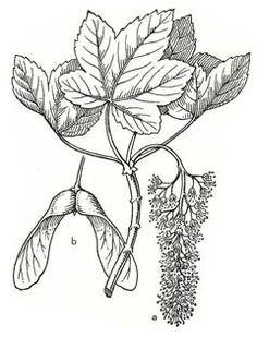 New Sugar Maple Tree Tattoo Tatoo Ideas Maple Tree Tattoos, Pine Tree Tattoo, Watercolor Tattoo Tree, Watercolor Trees, Maple Seed Tattoo, Tree Of Life Quotes, Seed Illustration, Maple Tree Seeds, Acer