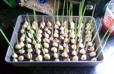 Come coltivare l'aglio in casa o in giardino