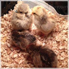 https://flic.kr/p/vYbNkX | Day Old Chicks | Bantum X Silkies