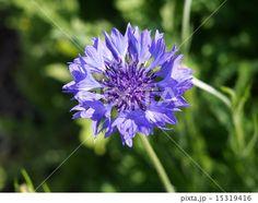Cornflower | ヤグルマギク (ヤグルマソウ)、コーンフラワーブルー