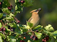 cedar waxwing | Flickr - Photo Sharing! Mike Wisnicki Chow time in the 'toons .... from a couple of weeks back when the berries were in their prime
