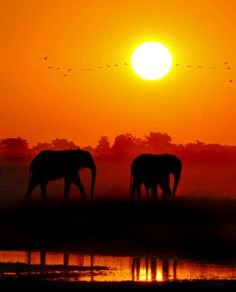 Chobe elephants at sunset - Chobe National Park in Botswana. I just got done visiting and it's amazing!