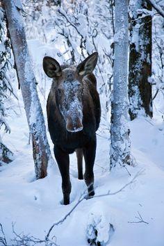 Moose saying hello