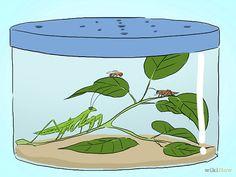 Keep a Praying Mantis As a Pet