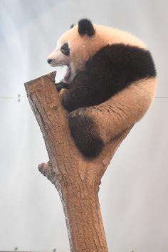 今日のパンダ(2091日目) | 毎日パンダ