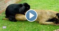 Porque en el amor no importa la especie. Un conejo se enamora de un perro, y mira lo que pasa aquí... #conejo #animales
