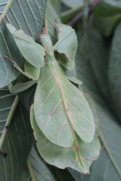 Leaf insects of the genus Phyllium