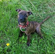Meet Charlotte, a Petfinder adoptable American Staffordshire Terrier Dog   Blaine, MN   Charlotte was born on 3-17-15. Her adoption fee is $500.