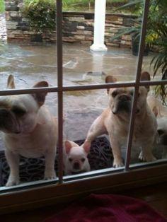 French Bulldog Family at the door