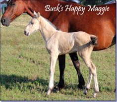 SOLD - BUCK'S HAPPY MAGGIE #pend. Solid buckskin Tennessee Walking Horse filly, by The Buck Starts Here, x Generator's Mindbender,  by Prides Generator. 15 to 15.1 hands when grown and has a great natural gait. If you want to be looked at on the trail/show ring, then Buck's Happy Maggie is for you. Foaled 05/24/2012. Cheap at $2500.  Horse is located in Missouri. Overseas transport can be arranged.   http://www.holmesfarmwalkers.com/BucksHappyMaggie.htm