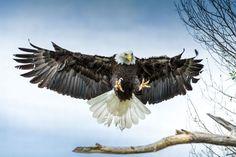 Animales-en-Video-aguila.jpg (1023×681)