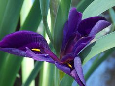 A swamp beauty in royal purple!!