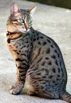~ Egyptian Mau Cat ~ Face looks like a Bengal...not sure if this is Mau. Still quite lovely.