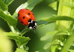 Seven spot ladybird by out in the sticks, via Flickr