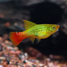Tropical Fish for Freshwater Aquariums: Topsail Platy Liverbearers