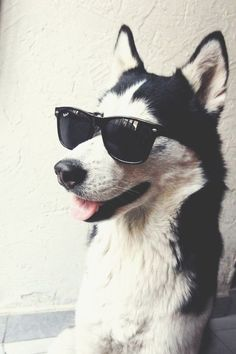 Elvis the Siberian Husky