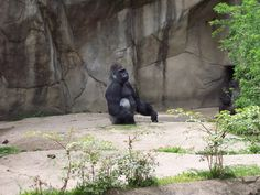 """Gorilla: """"My congressman is going to hear about this!"""""""
