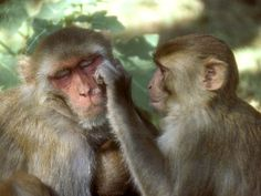 Rhesus monkeys are also still in high demand for use in non-invasive research programs. Description from voices.nationalgeographic.com. I searched for this on bing.com/images