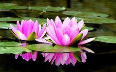 Gambar Bunga Teratai Mekar di Air