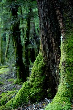 moss covered trees, new zealand   nature photography