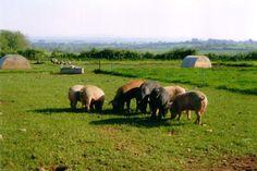 Organic Pig Farm...Callie's dad is an organic pig farmer.