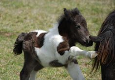 Little one - foal mini horse