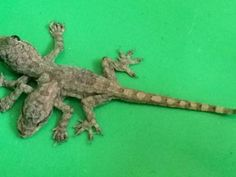 Gecko born with two heads, six legs a 'lucky' find-Men in Thailand considered lucky to make discovery; many Thais believe deformed animals are supernatural, could lead to winning lottery numbers.