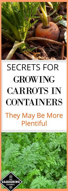 Plant your carrots in containers for more plentiful harvest. Carrots have very specific soil requirements that can be more easily controlled in a container.