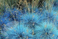 Blue Fescue Grass - Festuca Ovina Glauca - Exotic Ornamental Grass - 20 Seeds