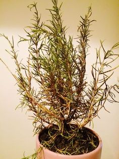 Rozmaryn lekarski: jego szerokie zastosowanie i niesamowity aromat.