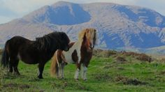 ponies on the beara peninsula