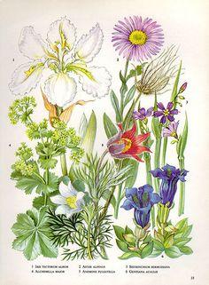 Botanical FABIANA CISTUS HYPERICUM Flower by VintageInclination