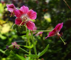 Dusky Cranesbill 'Rose Madder' (Geranium phaeum)