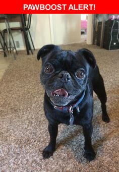 Is this your lost pet? Found in Colorado Springs, CO 80909. Please spread the word so we can find the owner!  Small black male pug. Collar but no address. Rabies registration #514576.   Near Swope Ave & E Saint Vrain St