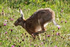 Hare. Photo: Peter Moore.