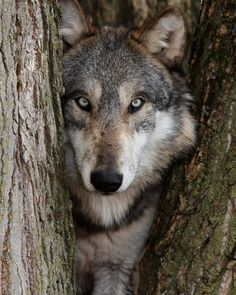 According to a new study published in thePublic Library of Science, wolves and dogs possess certain distinctive ocular characteristics which indicate that they can communicate to other members of their species using their eyes alone. No wonder they give such good face!