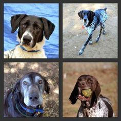 If you are in Orange County California, you won't want to miss the OC Pet Expo this weekend! The Shorthairs will be there, so be sure to stop by to say hello! Gsp Rescue, Orange County California, The Oc, German Shorthaired Pointer, Say Hello, Coming Out, Pointers, Pets, Animals