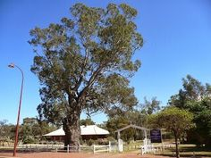 Toodyay, 370+ year old gum tree over the road from Connors Mill in the grounds of the Anglican Church
